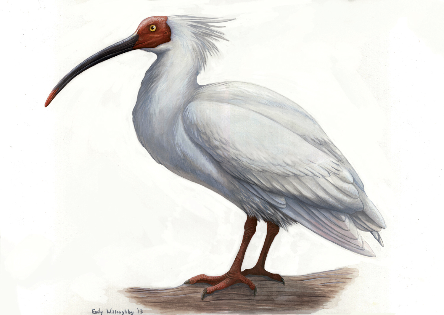 Crested Ibis Emily Willoughby Art