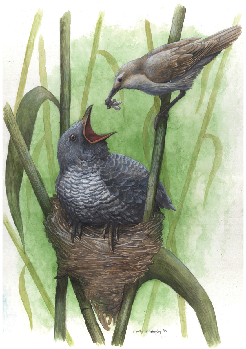 Cuckoo And Warbler Nest Parasitism 5 Emily Willoughby Art