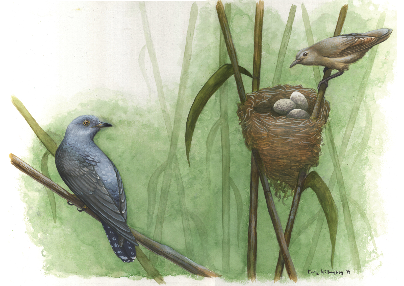 Cuckoo and Warbler Nest Parasitism 1 – Emily Willoughby Art