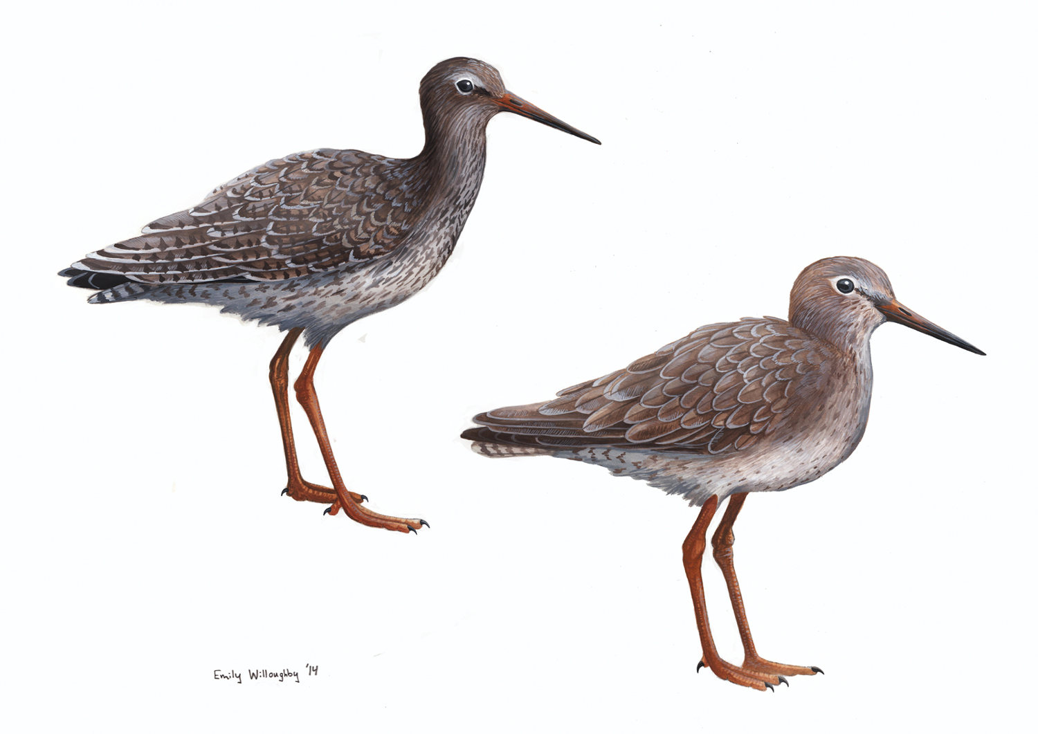 Common Redshank Plumages