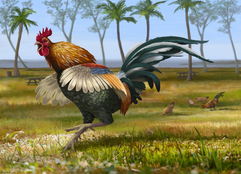 Feral Kauai Rooster