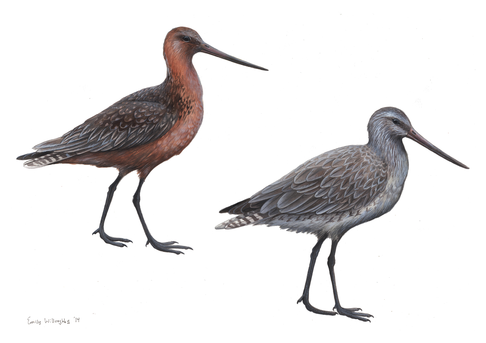 bartailed godwit essay Openbill stork, painted stork, white-necked stork, great stone plover, lesser sand plover, crested serpent & crested hawk eagles, white-bellied sea eagle, blue-tailed bee-eater, grey-headed fish eagle, golden plover, spoonbill, white ibis, stork-billed kingfisher, white-rumped shama.