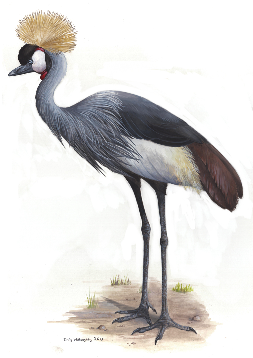 Grey Crowned Crane Emily Willoughby Art