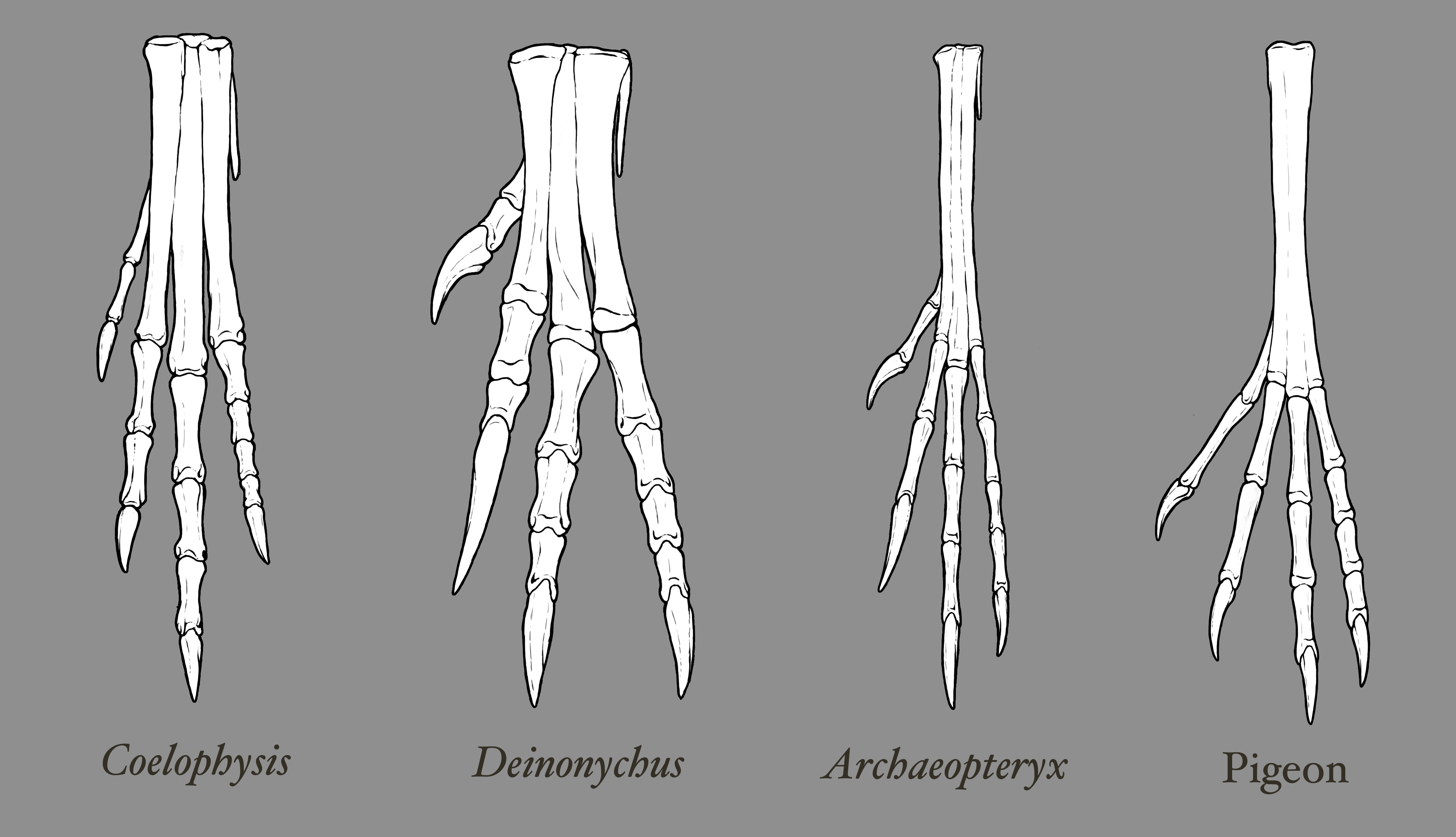 theropod foot comparison  u2013 emily willoughby art