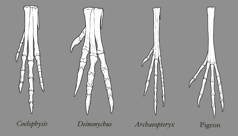 Theropod Foot Comparison