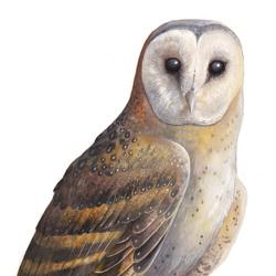 African Grass Owl