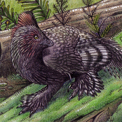 Anchiornis: Dimorphism