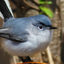 Blue-gray Gnatcatcher 2