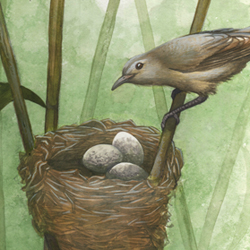 Cuckoo and Warbler: Nest Parasitism 1