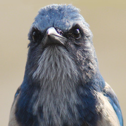 Florida Scrub Jay Portrait