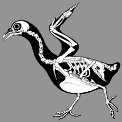 Pigeon Skeletals