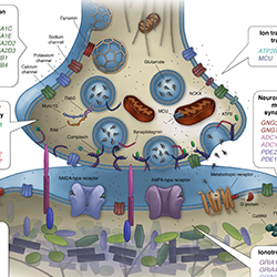 Synapse and gene products (Lee et al. 2018)