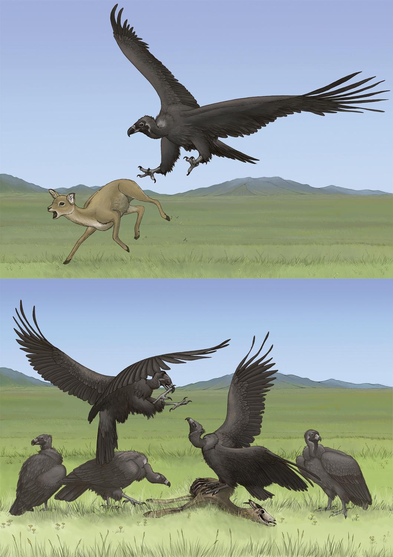 Vultures: Scavenger or Predator?